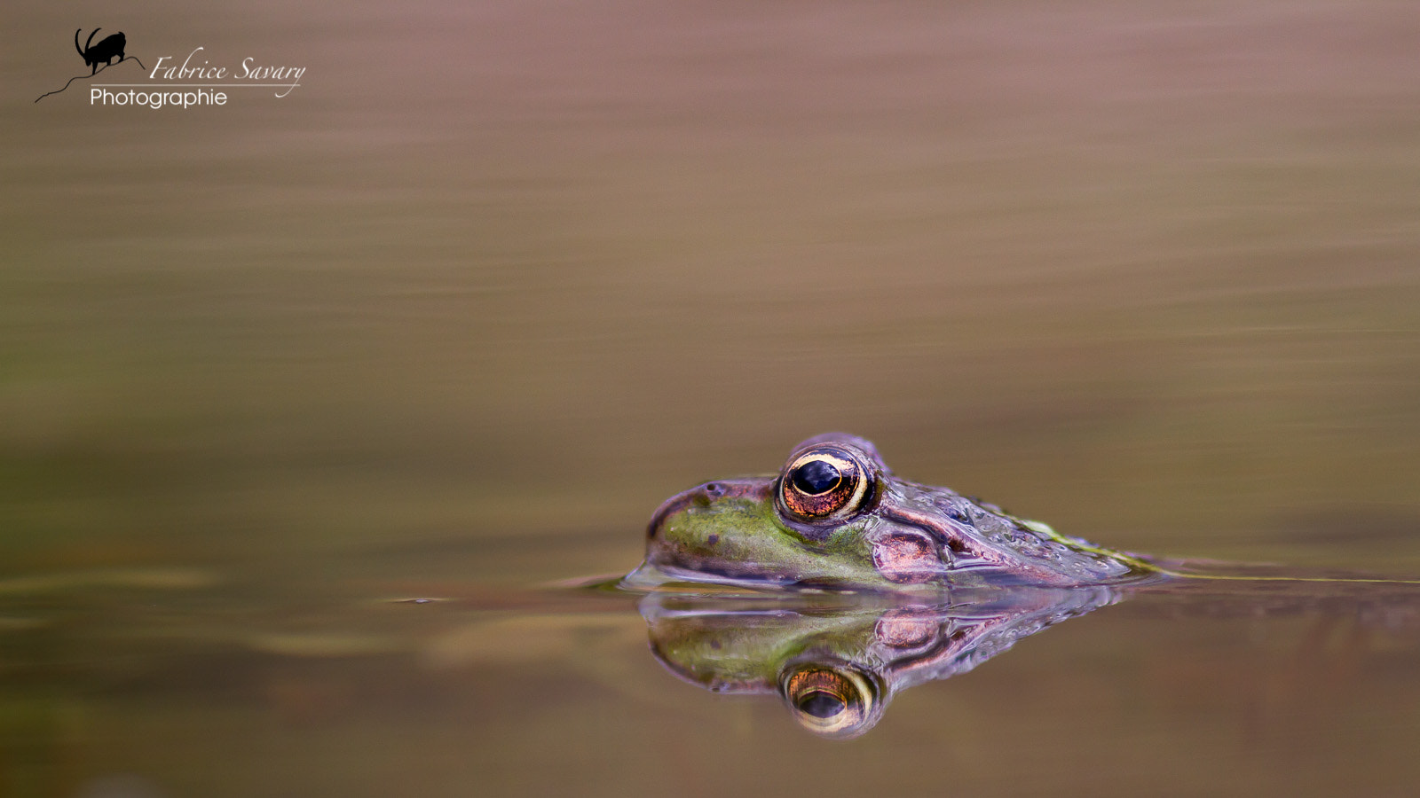 Photograph Grenouille rieuse by Fabrice Savary  on 500px