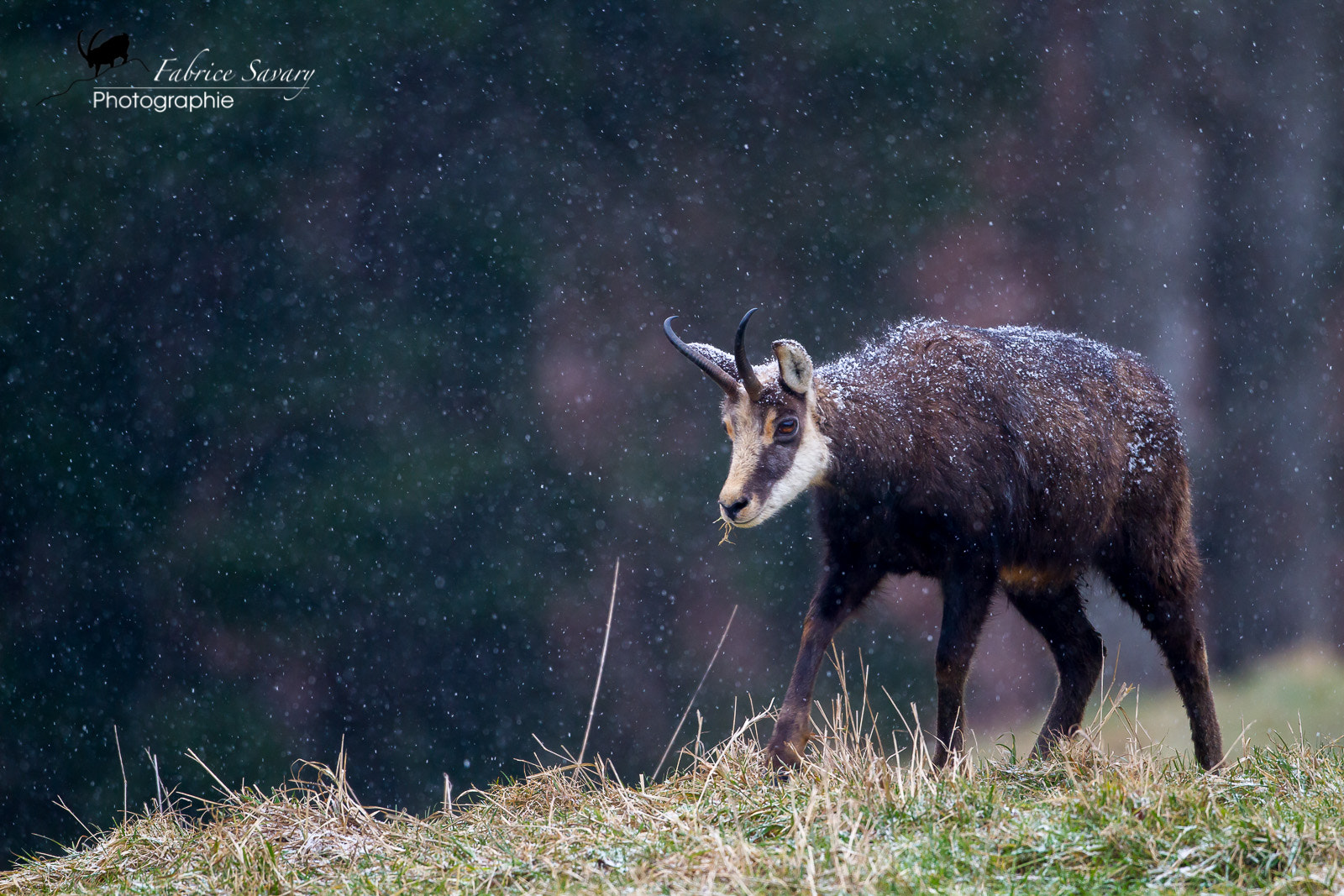 Photograph Chamois aux premiers flocons by Fabrice Savary  on 500px