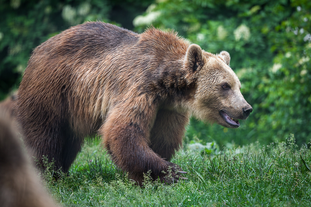 Photograph Libearty - Bear Sanctuary by Cristian Vasile on 500px