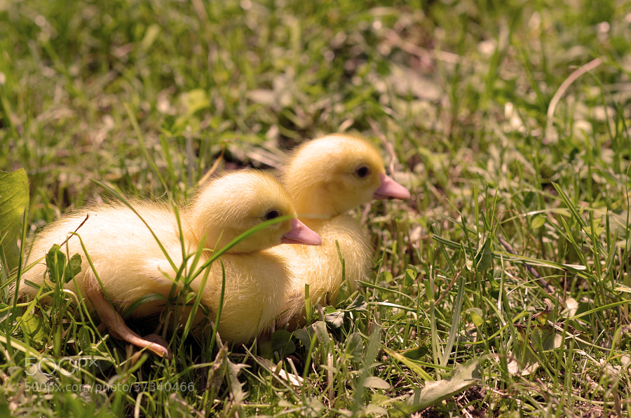 Happy little ducks
