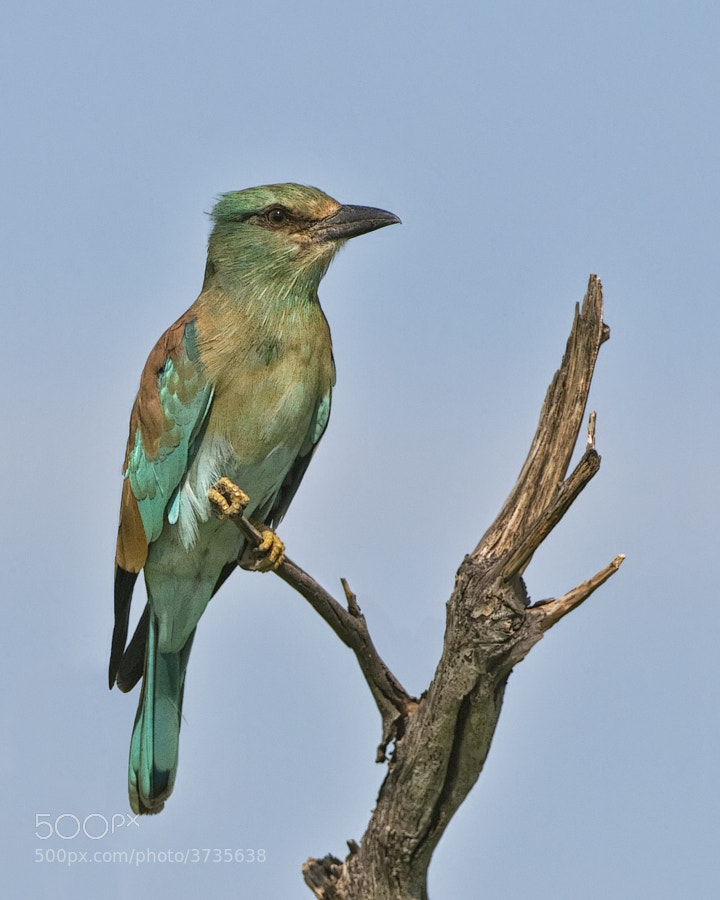 A regular and most welcome visitor, this was taken in Savute, Botswana