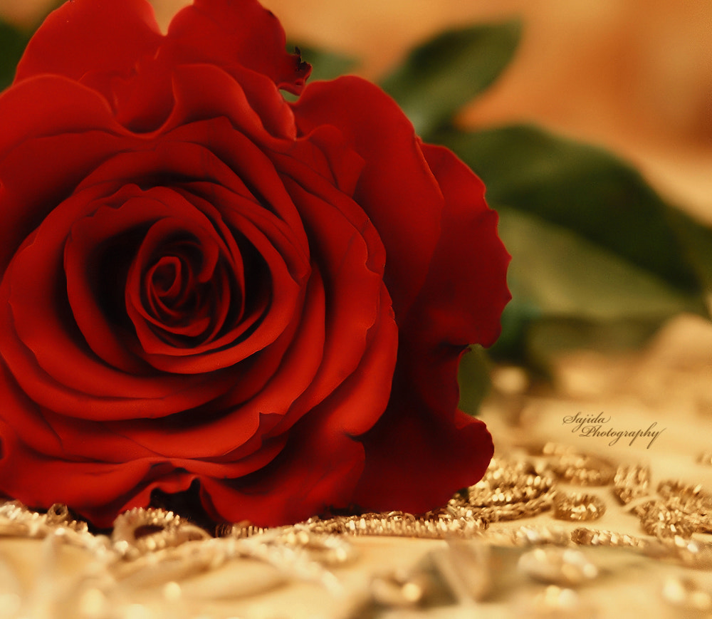 Photograph Red Rose by Sajida  on 500px
