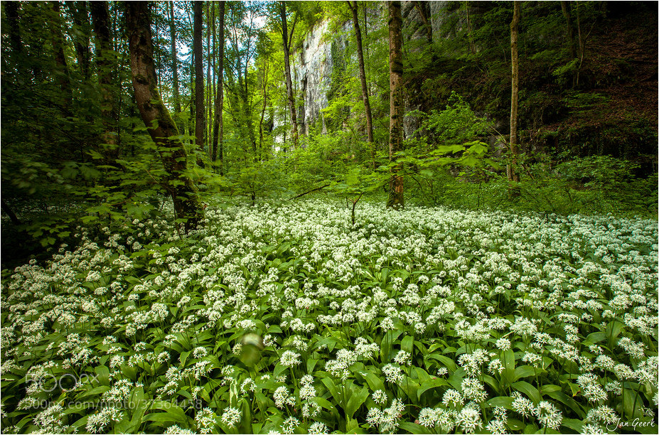 Photograph Wild garlic forest by Jan Geerk on 500px