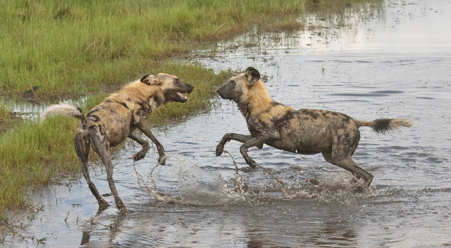 Another image from our sighting on the Savute Marsh, Botswana. The one on the left has clearly eaten well