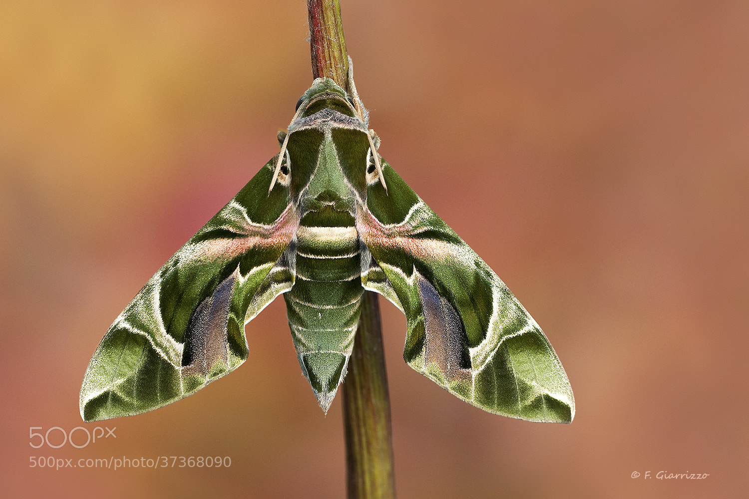 Photograph Oleander hawkmoth by Fabio Giarrizzo on 500px
