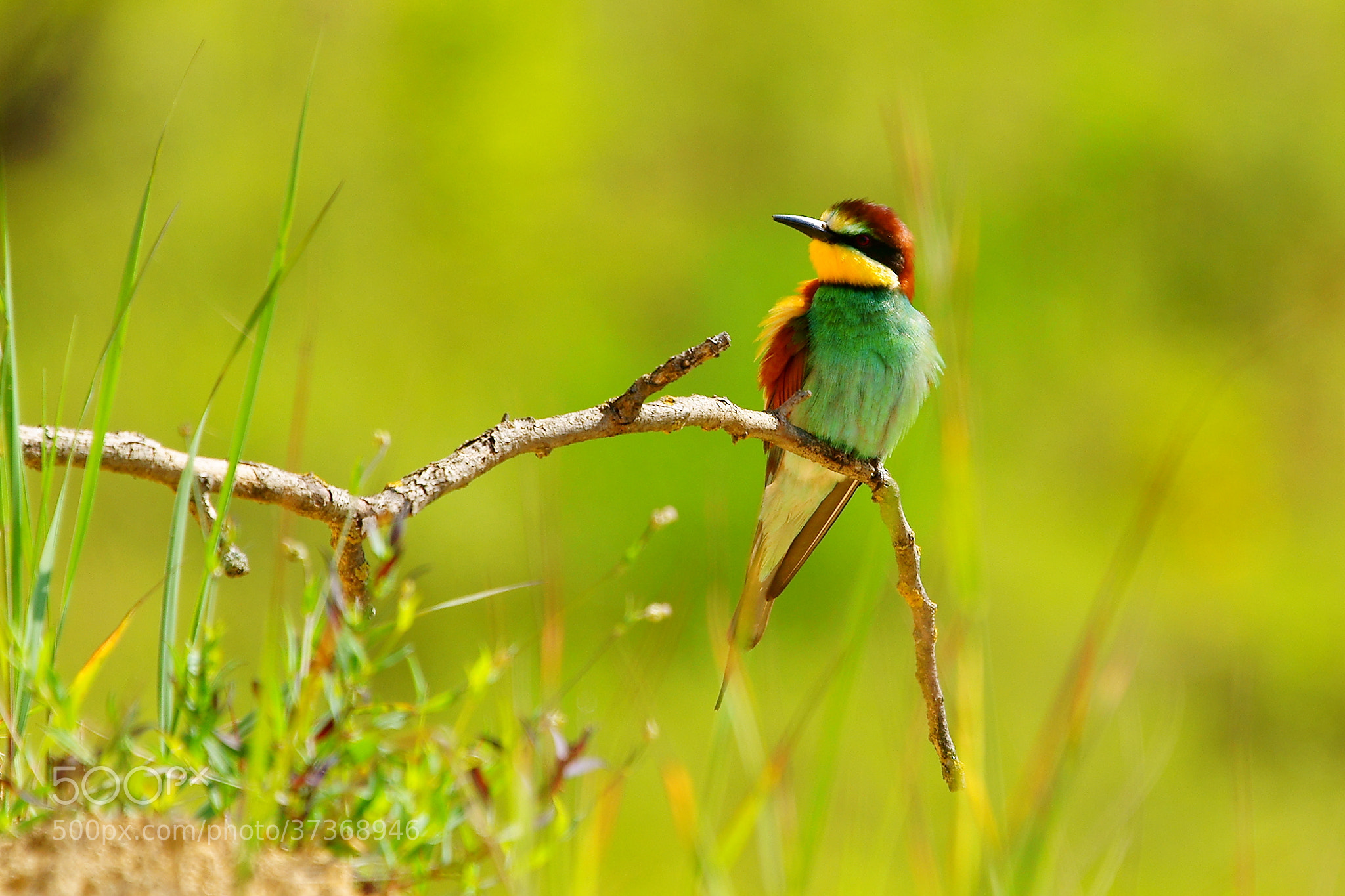 Photograph Bee eater by Janez Tolar on 500px