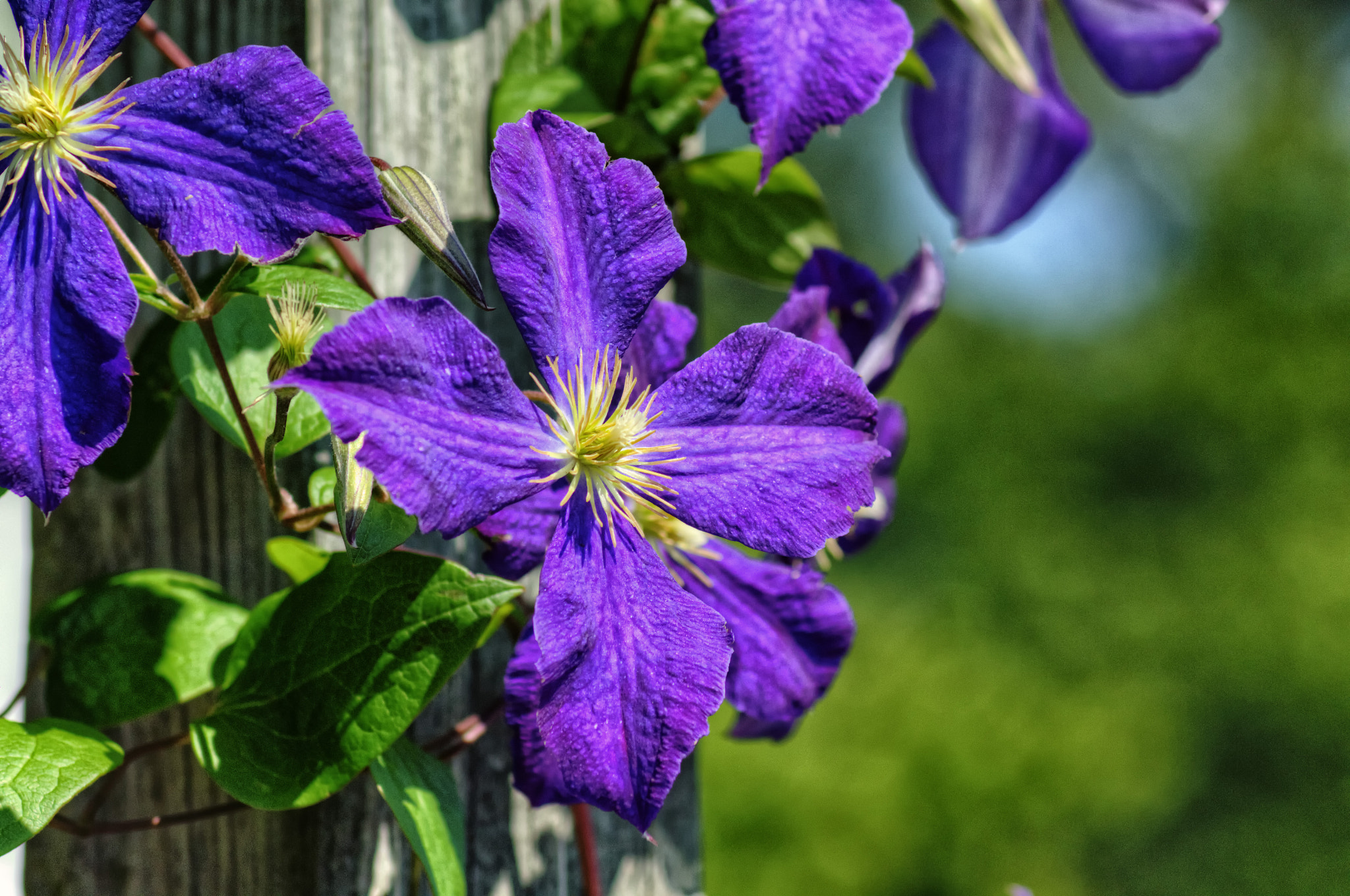 Photograph Purple Clematis by James Gramm on 500px