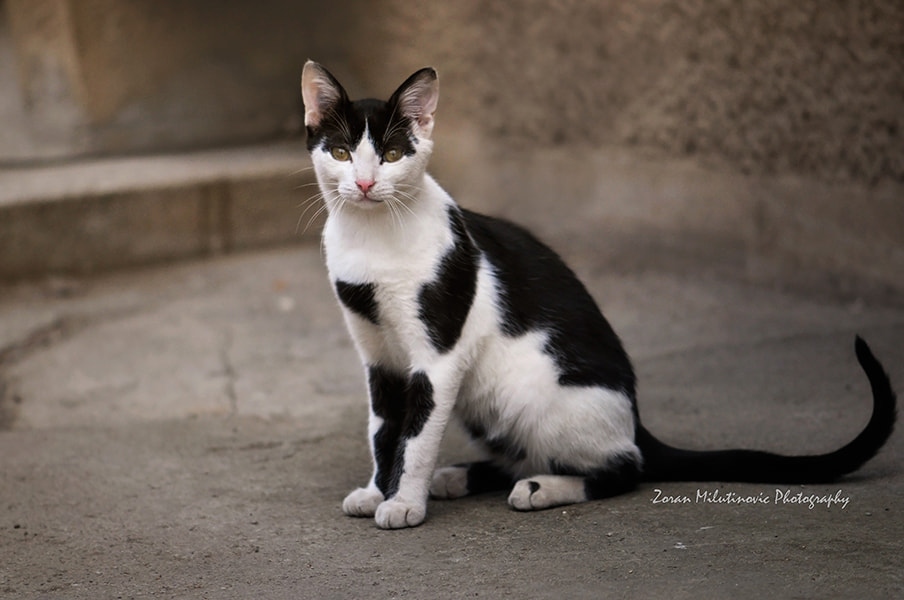 Photograph Cow Cat by Zoran Milutinovic on 500px