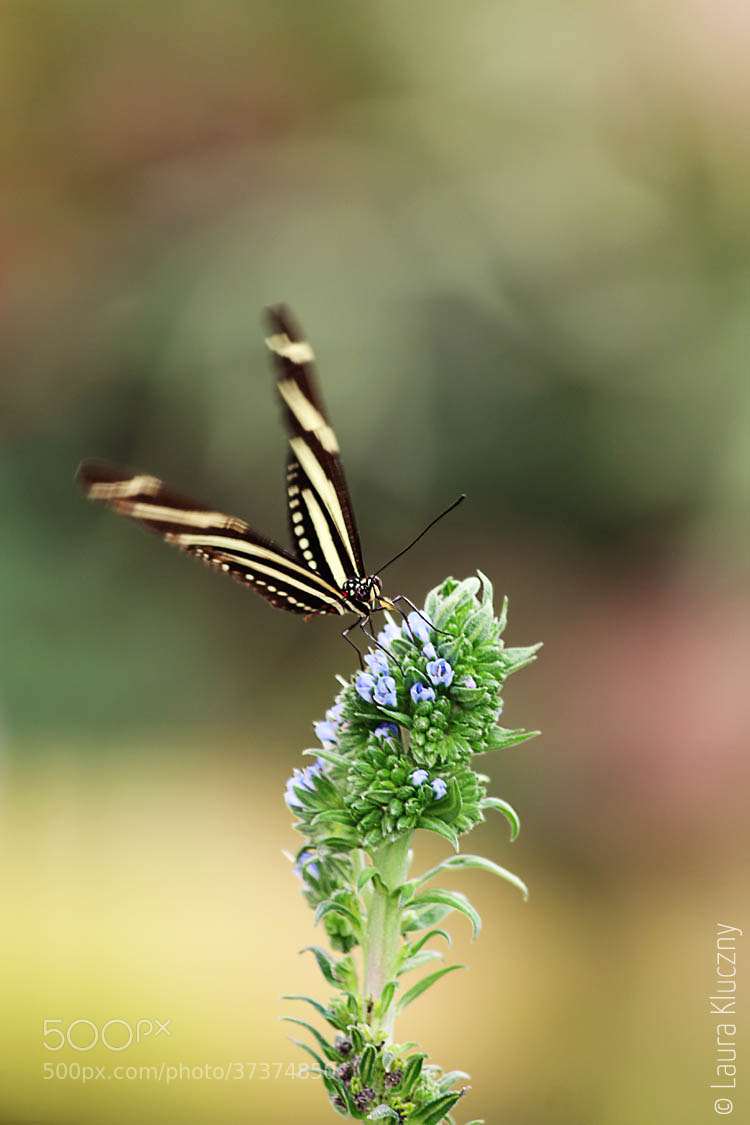 Photograph Zebra Longwing by OneGlimpse on 500px