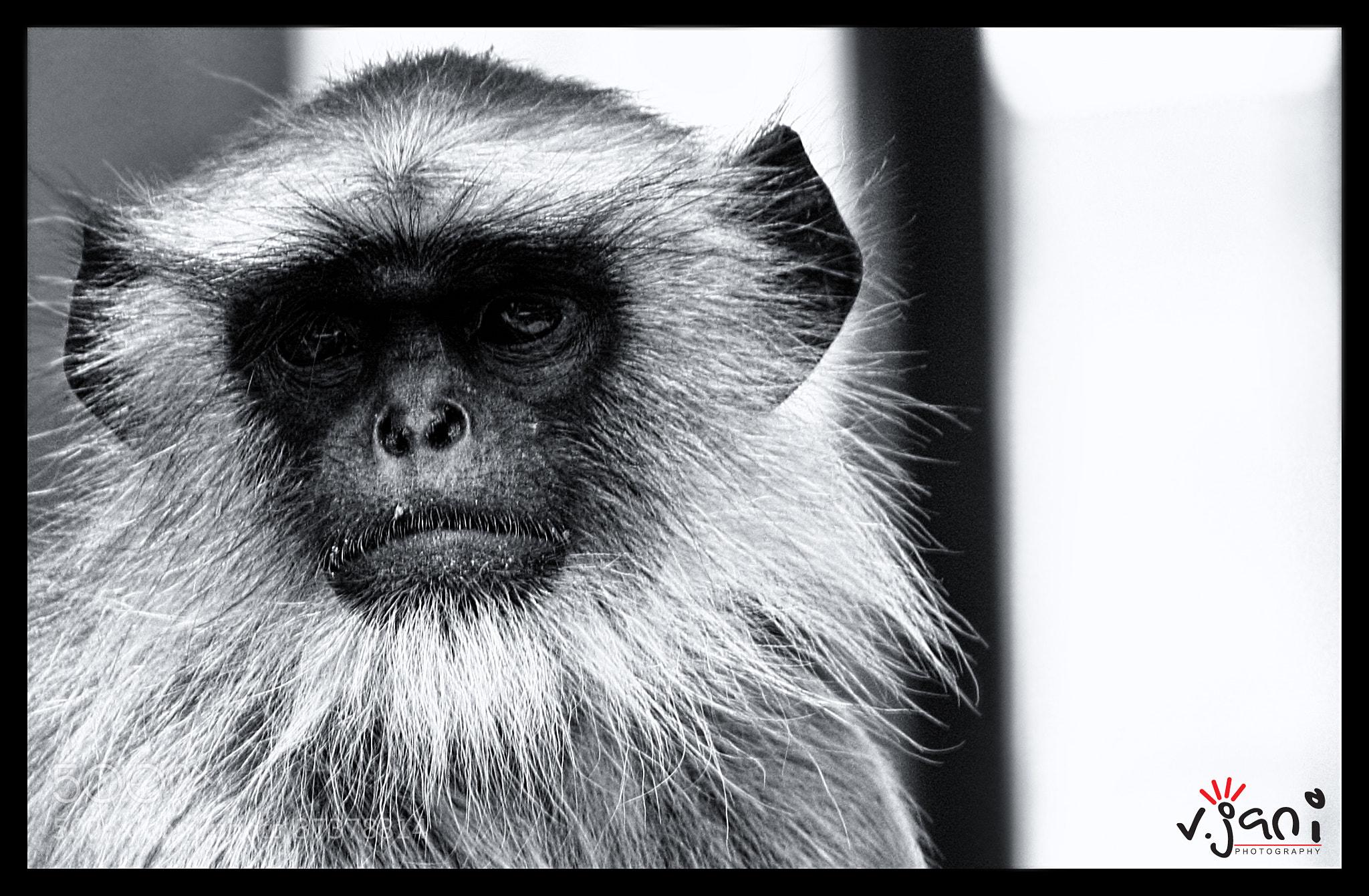 Photograph The street Monkey by vishal jani on 500px