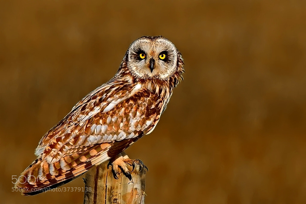 Photograph short-eared owl by wise photographie on 500px