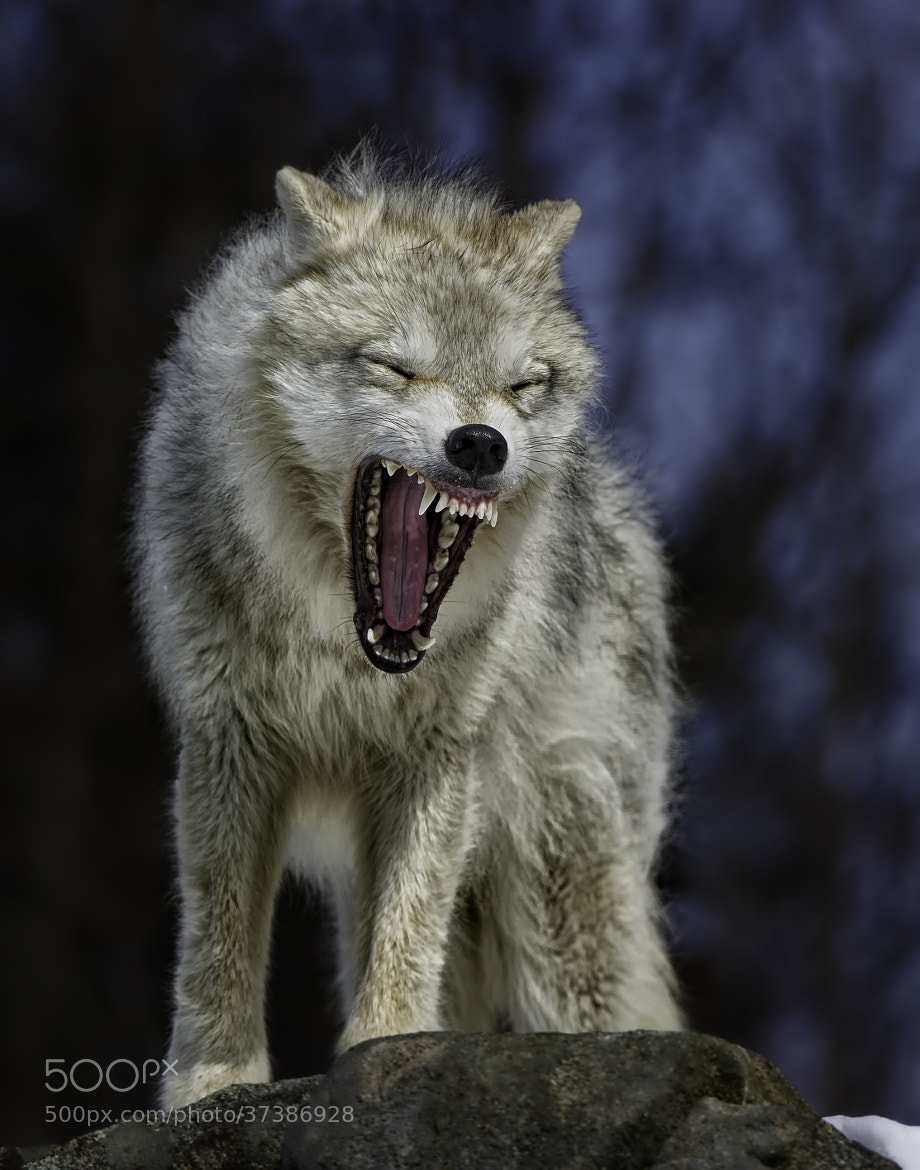 Photograph Angry like the Wolf by Daniel Parent on 500px