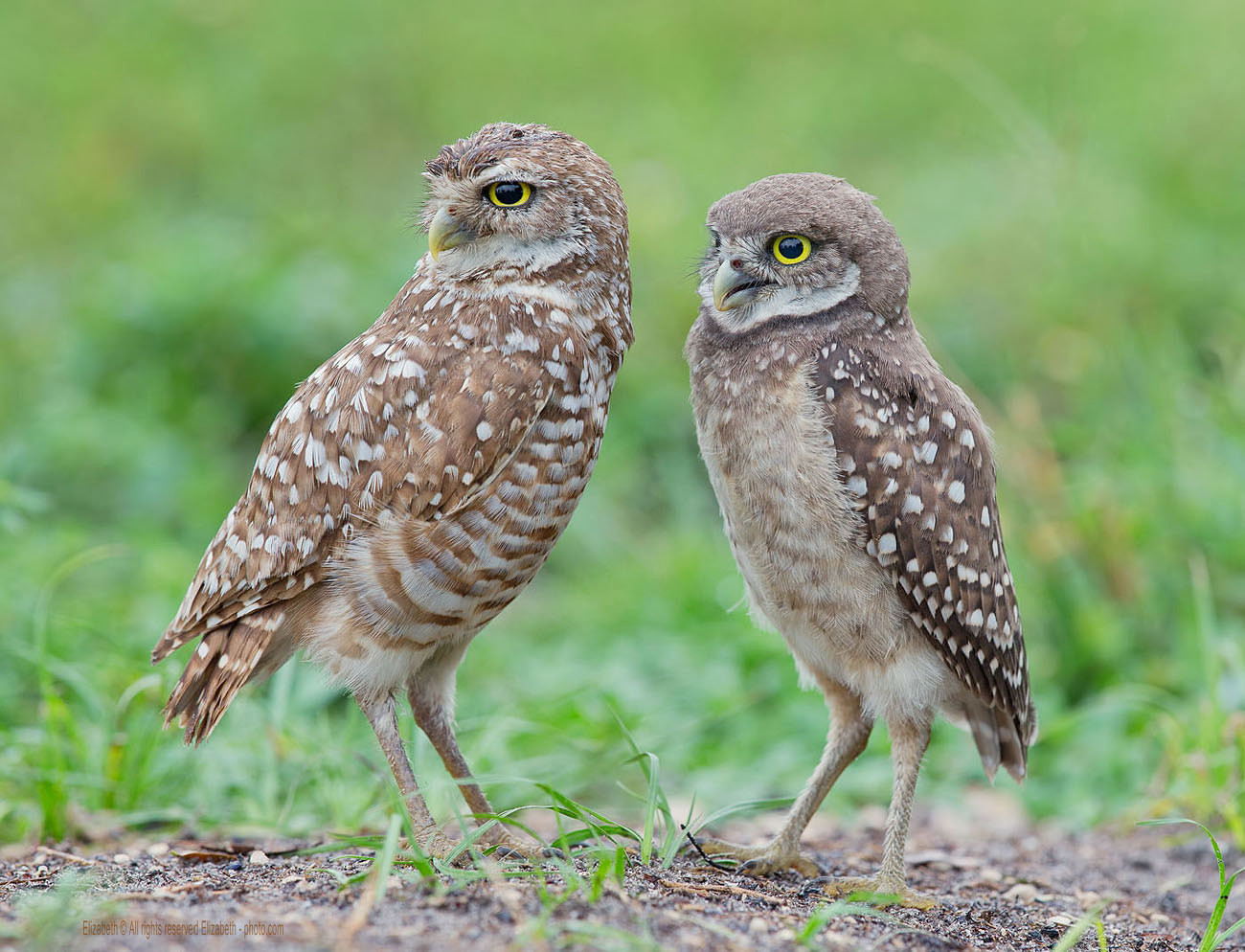 Photograph Burrowing Owls  by Elizabeth  E. on 500px