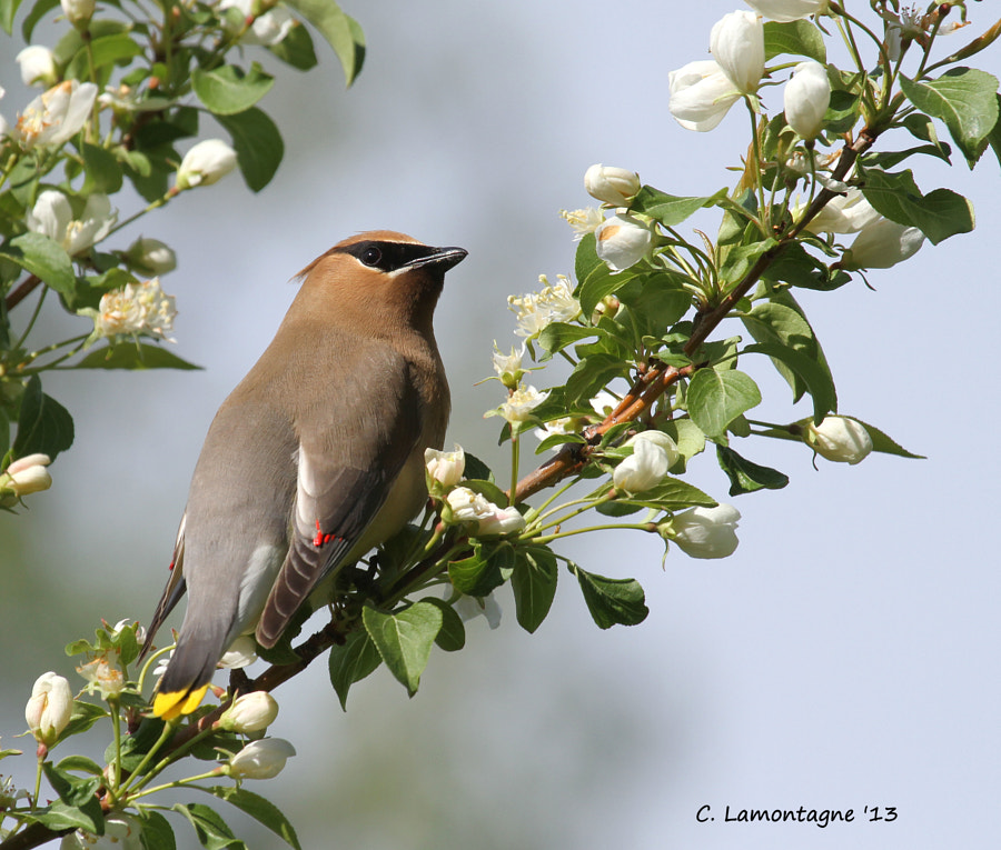 Cedar Waxwing in an Apple tree at a nearby lake. There were a few of them eating the blossoms off the branches.