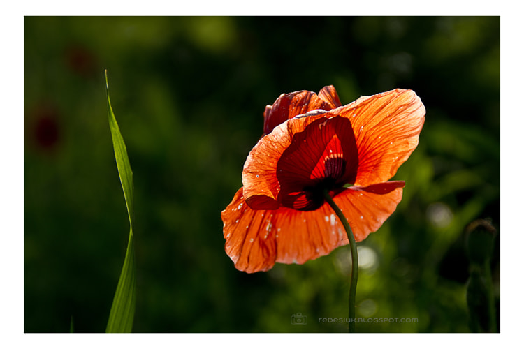 Photograph poppy by Joanna Redesiuk on 500px