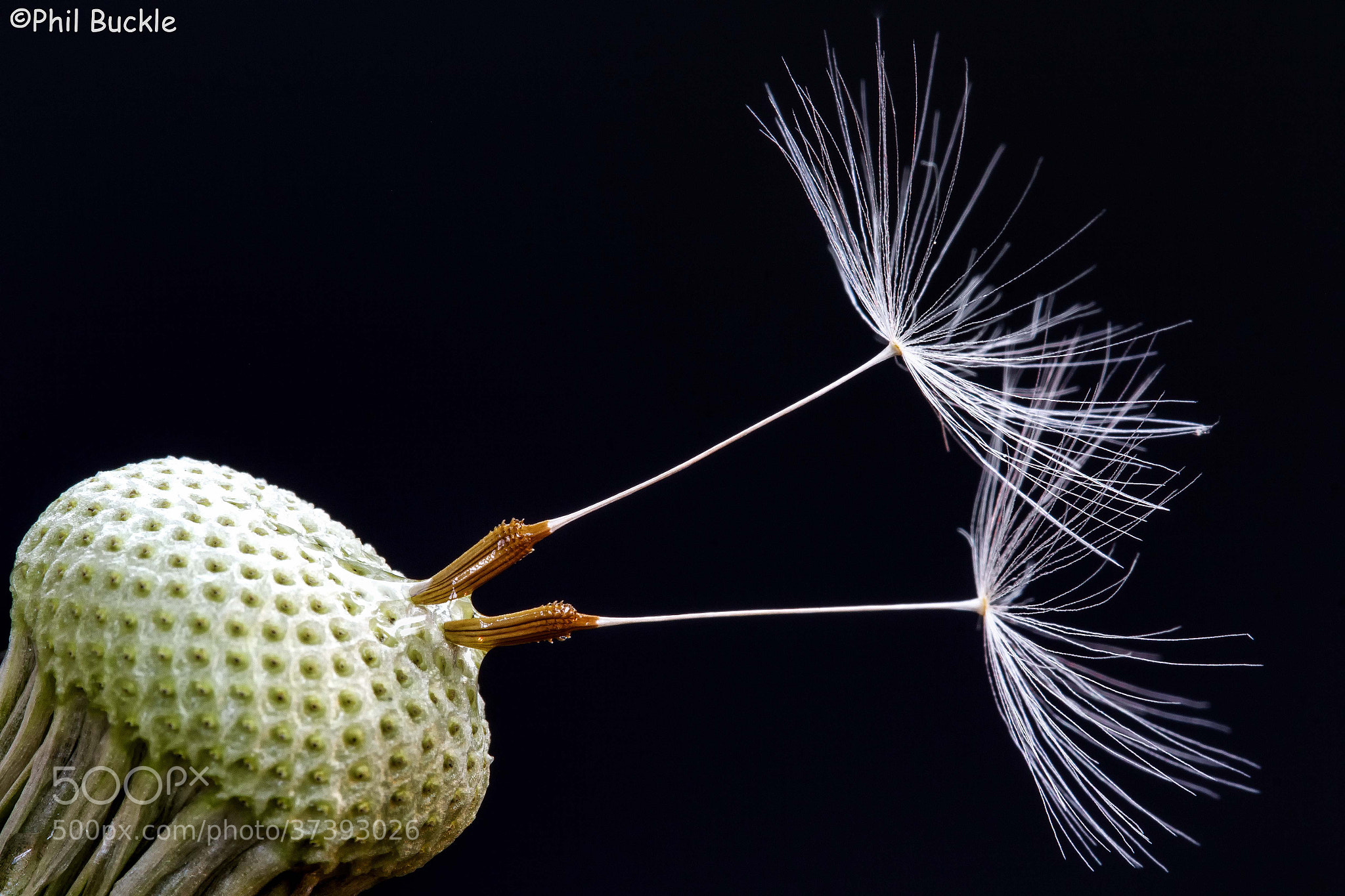 Photograph Dandelion Ballet by Phil Buckle on 500px