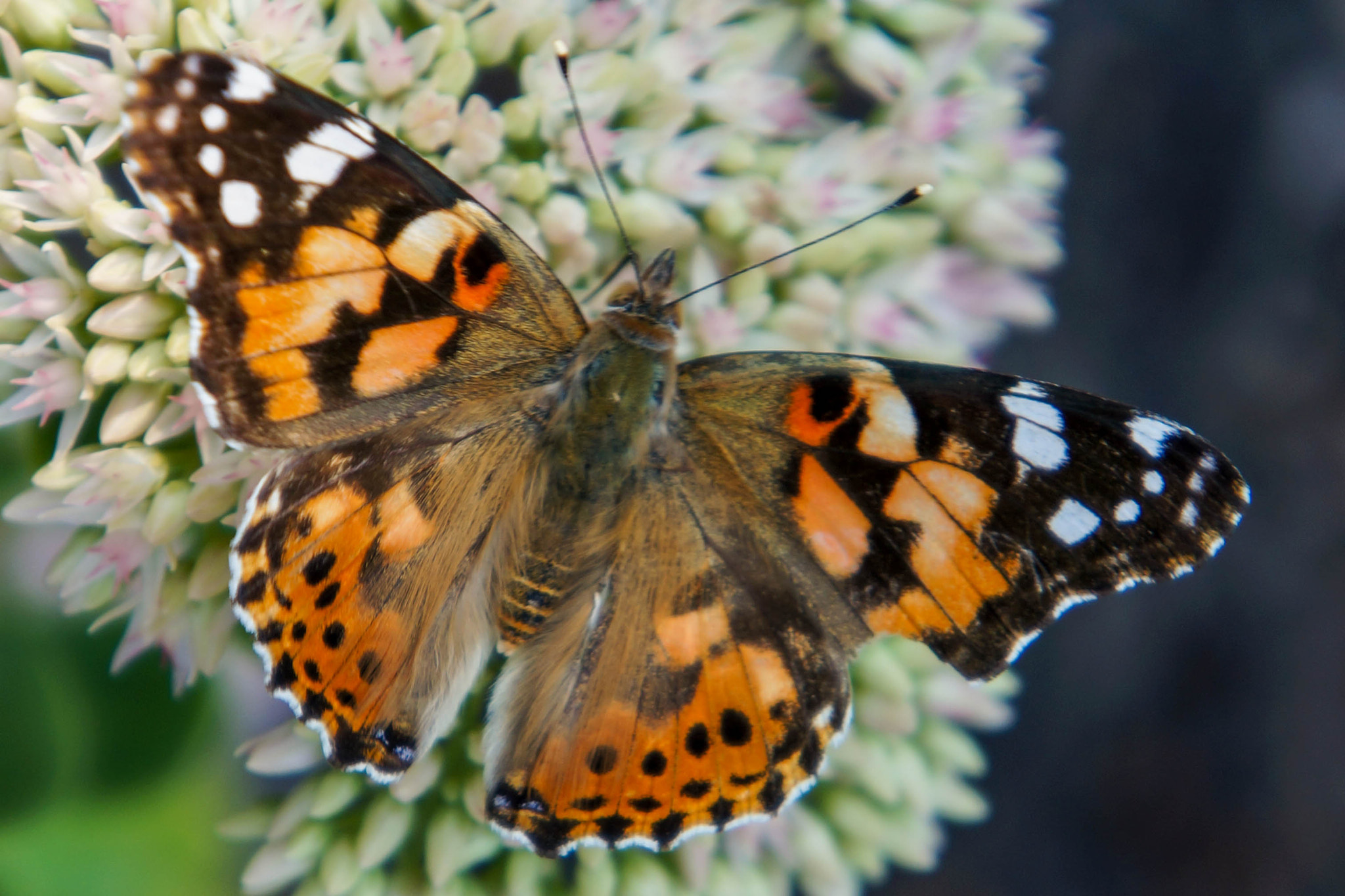 Photograph Painted Lady Butterfly by Alyssa Paraggio on 500px