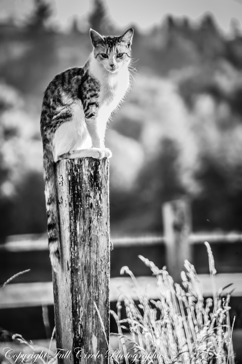 Photograph Farm Cat by Pandyce McCluer on 500px