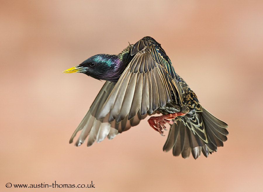 A Starling in flight...