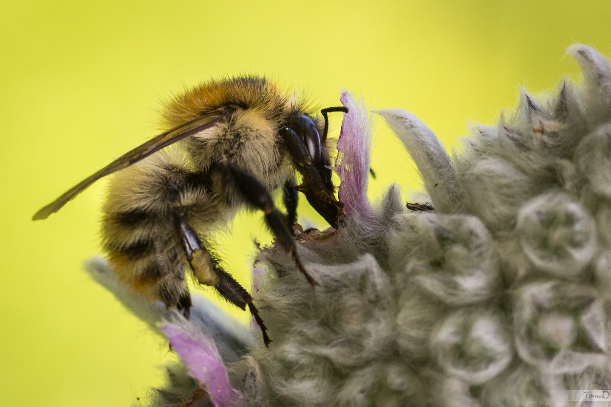 Photograph Bee by Tomaž Klemenšak on 500px
