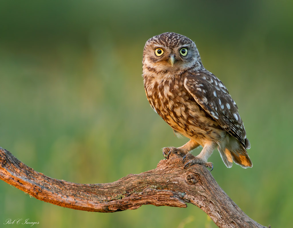 Photograph Little Owl by Rob Cross on 500px