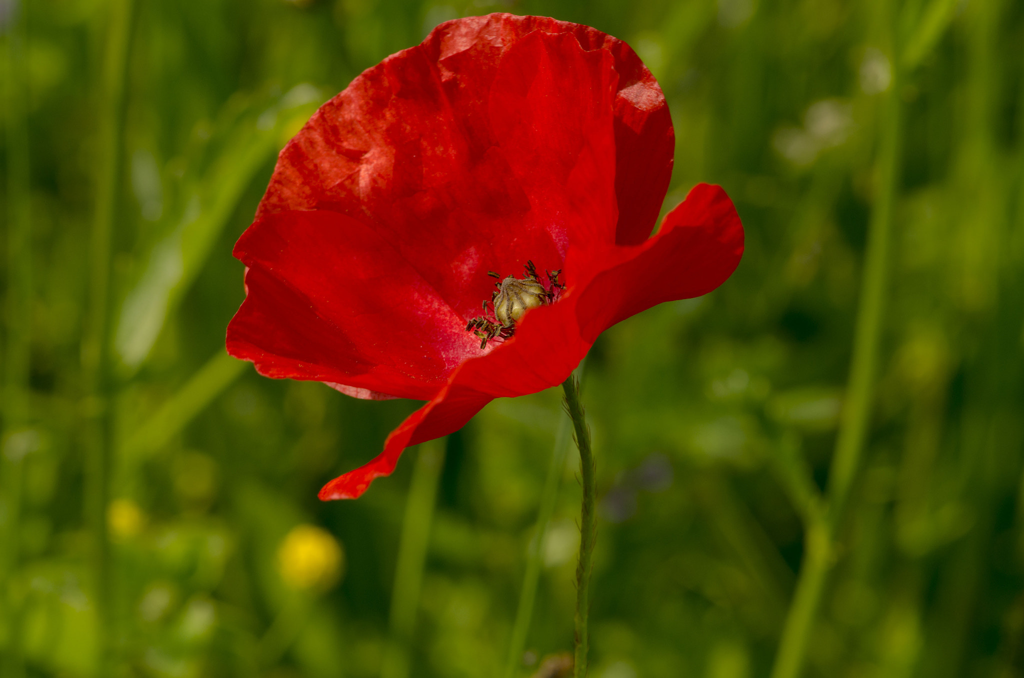 Photograph poppy by Didier Quartier on 500px