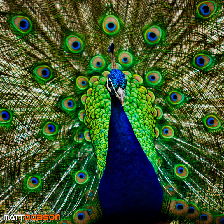 Photograph Proud As A Peacock by Matt Dobson on 500px