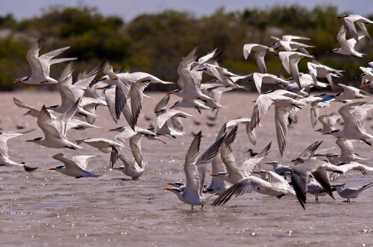 Photograph Flock of Terns by Sandra Garip on 500px
