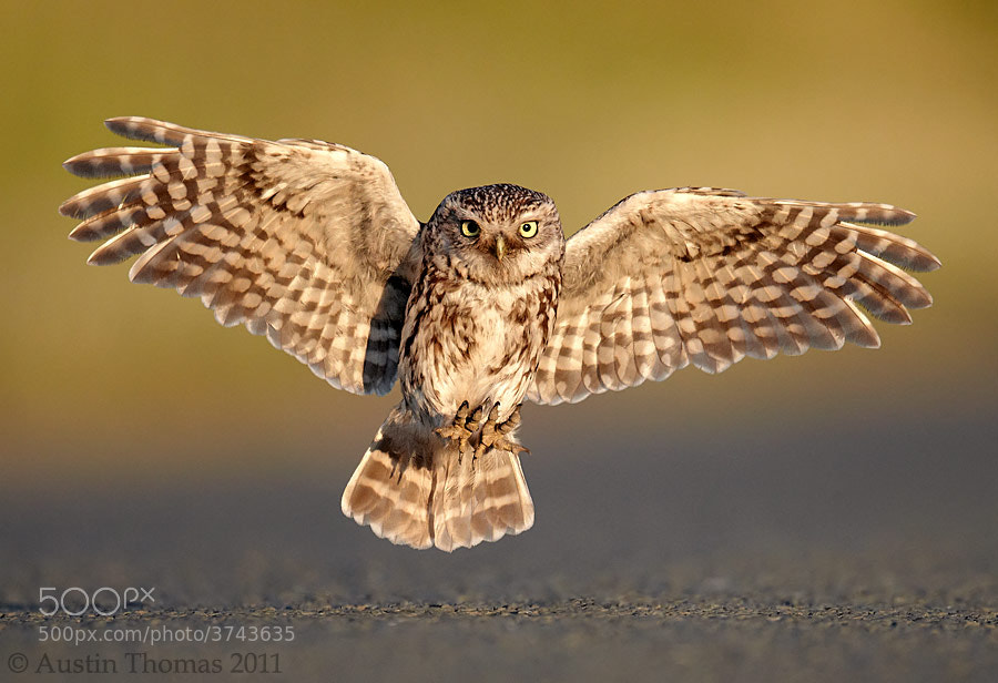 Photograph Little Owl Landing by Austin Thomas on 500px