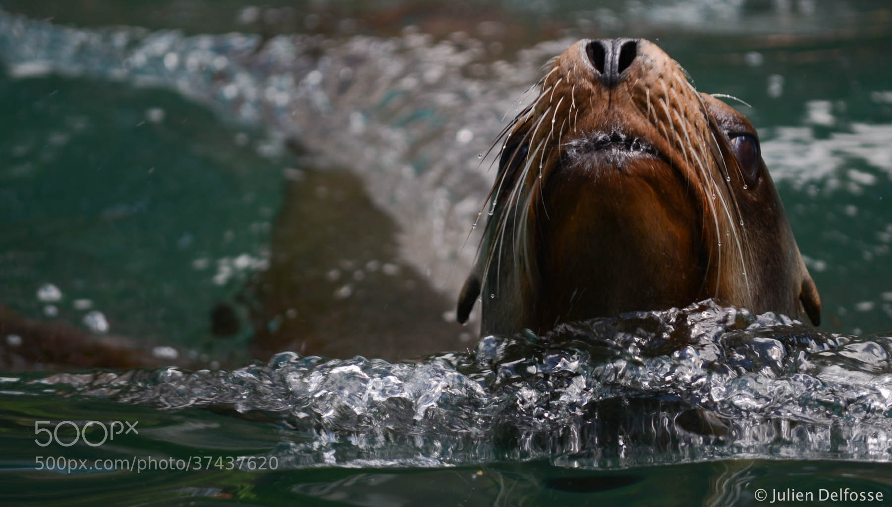 Photograph Sea Lion in Central Park's Zoo by Julien Delfosse on 500px