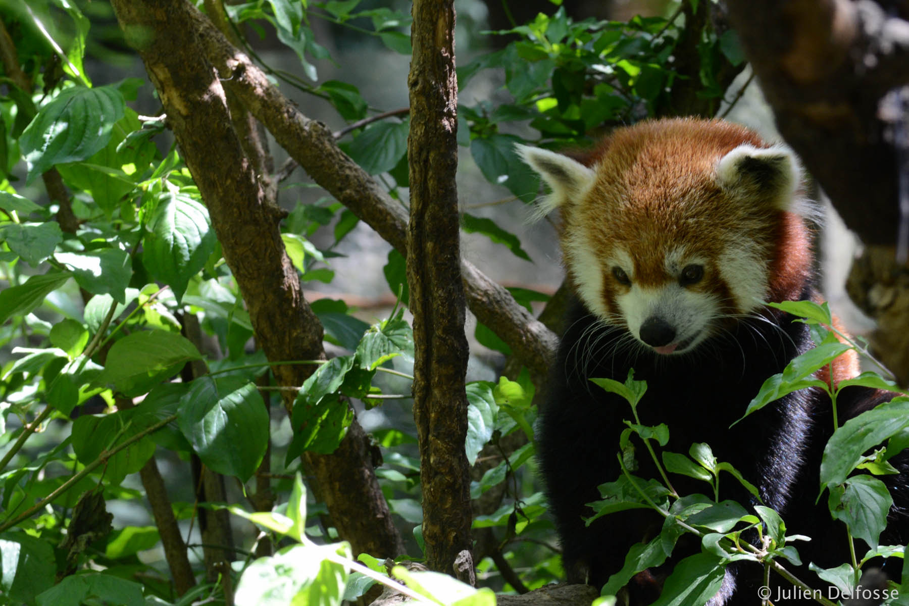 Photograph The Red Panda of NY  by Julien Delfosse on 500px