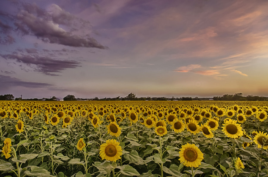 A Beautiful Sunset over a Sunflower Field by Ronnie Wiggin on 500px.com