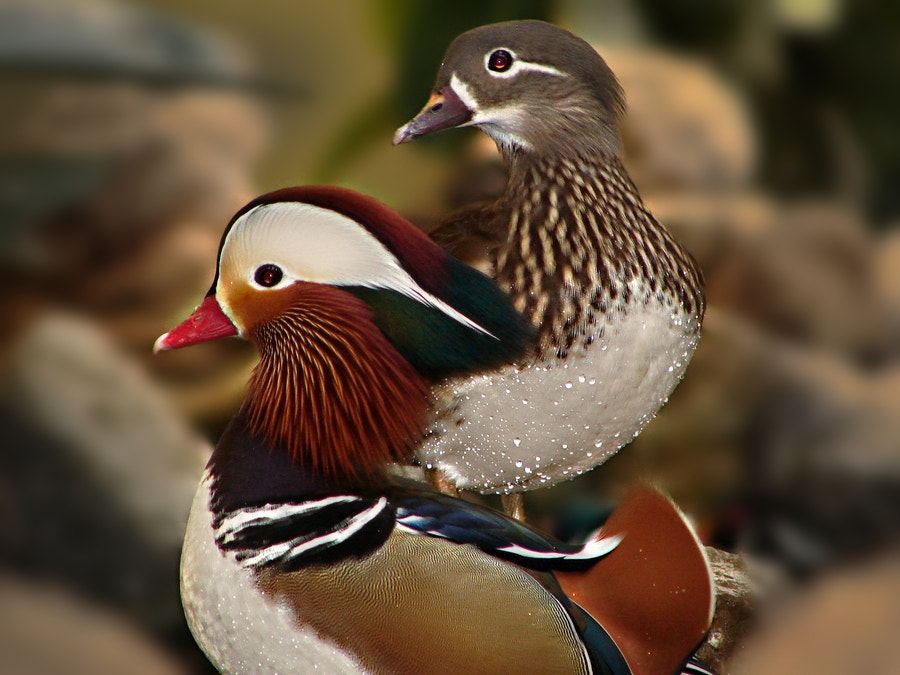 Photograph Mandarin by Nevit Dilmen on 500px