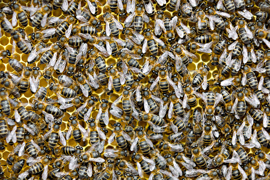 Photograph Honey bees by Raúl Tijera on 500px