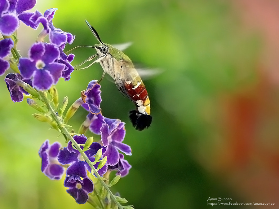 Photograph มอธเหยี่ยวปีกใส (Cephonodes sp.) by Anan Suphap on 500px