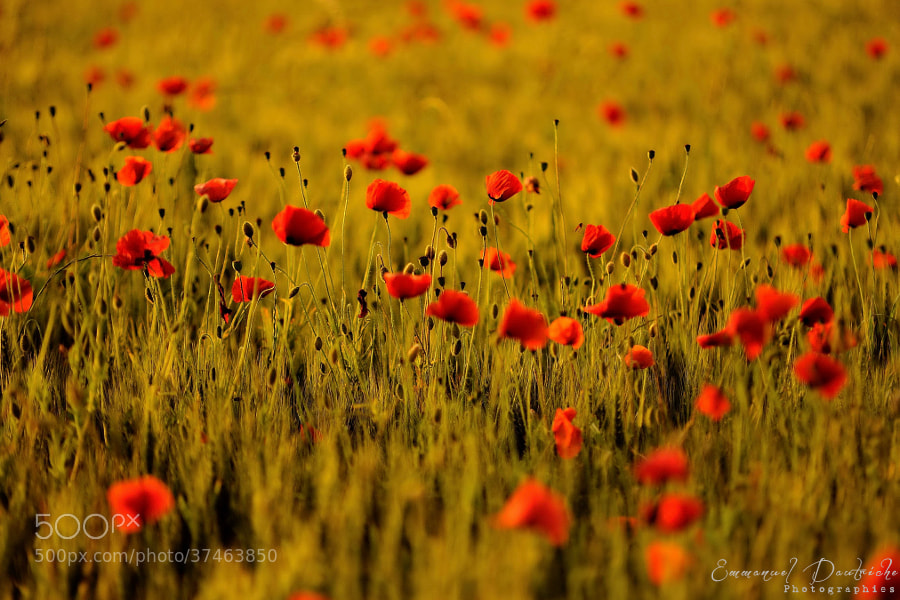 Photograph Blood and gold by Emmanuel Dautriche on 500px