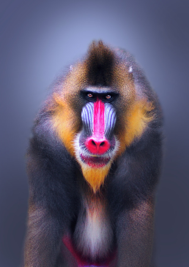Photograph Mandrill by Sham Jolimie on 500px