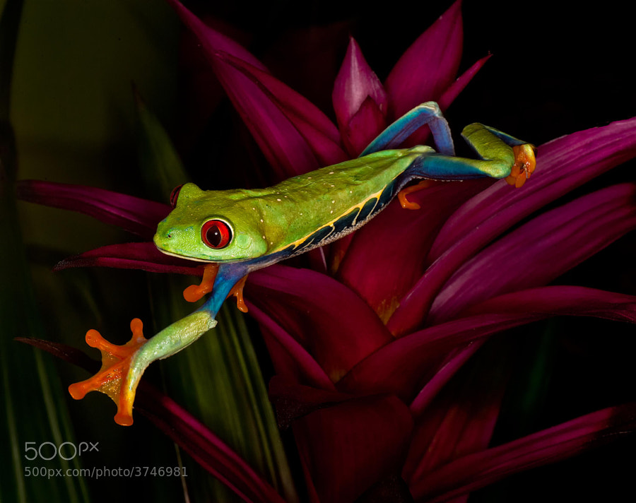 Red eyed tree frog trying to leave the plant!  Shot with a macro lens.