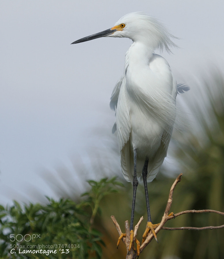 Snowy Egret a little windblown. Orlando, Florida.