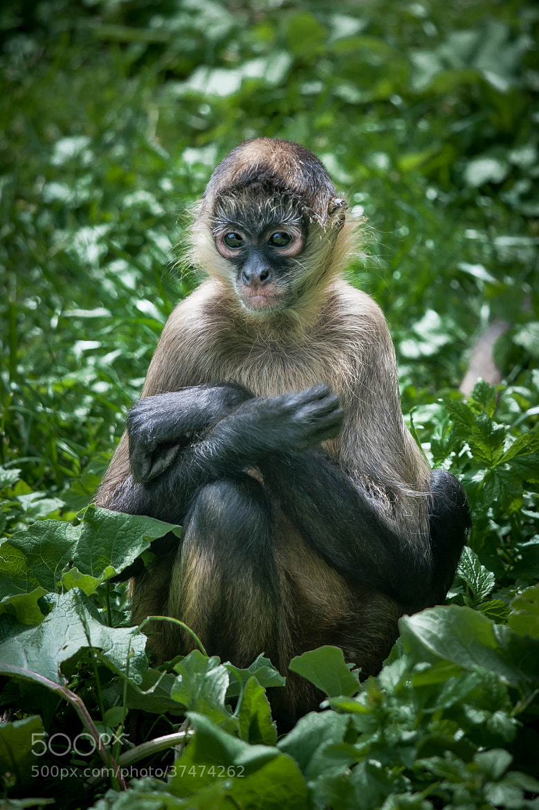 Photograph Shy Monkey by Justin Lo on 500px