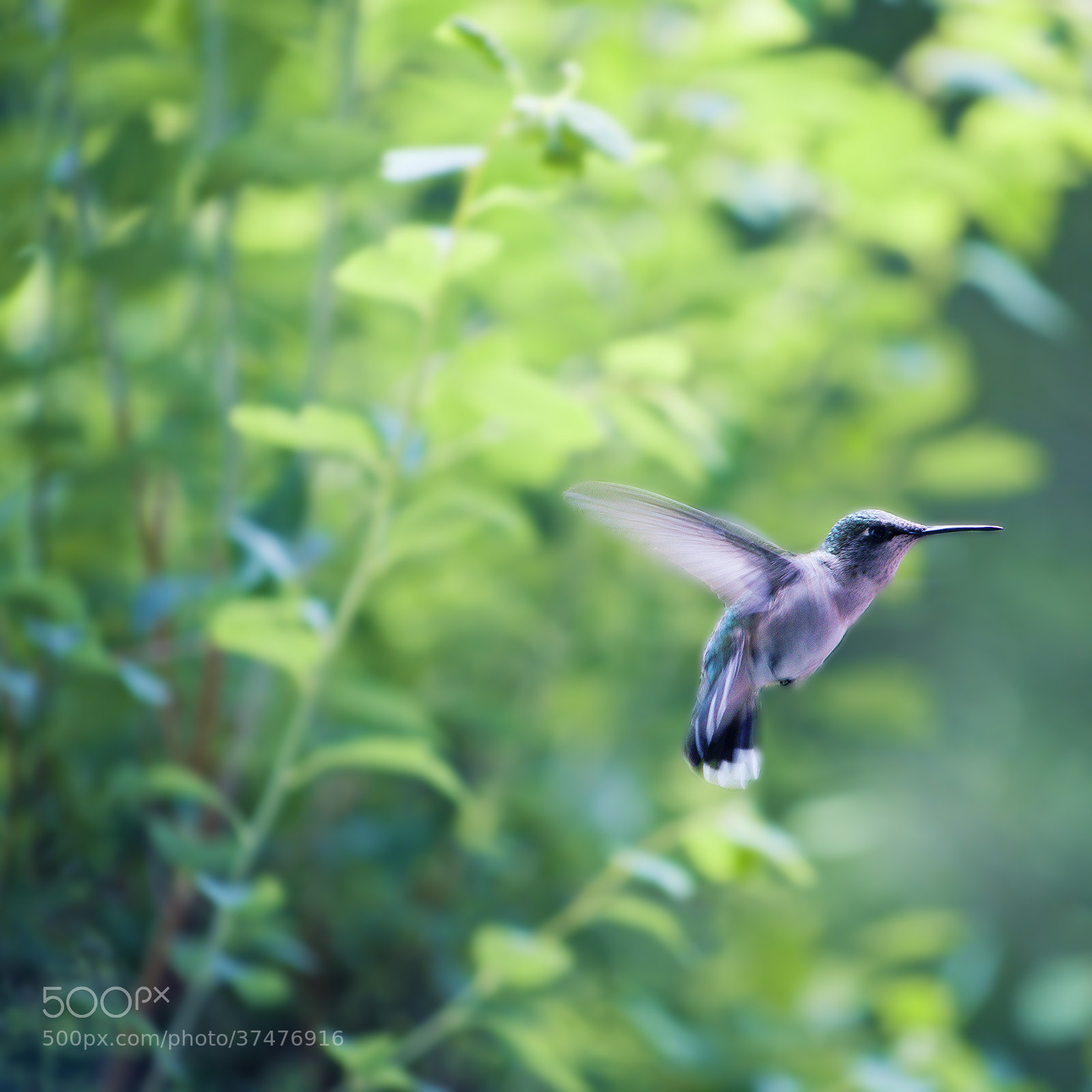 Photograph Mademoiselle Colibri 2 by Marie  on 500px