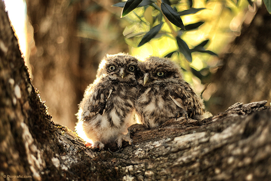 Photograph Owls Couple by Diogo Paulo on 500px