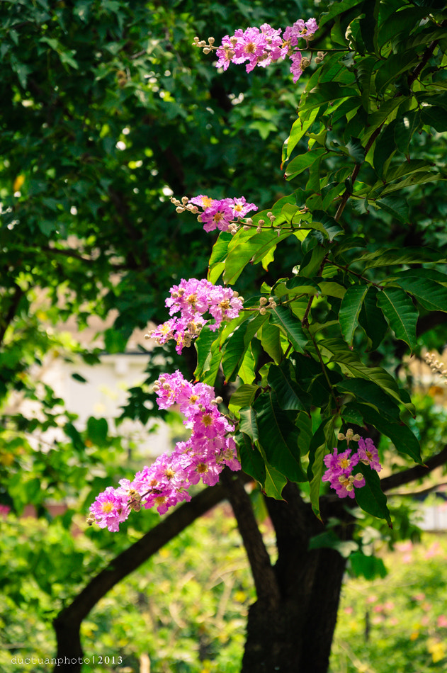 Photograph Lagerstroemia speciosa by ductuan nguyen on 500px