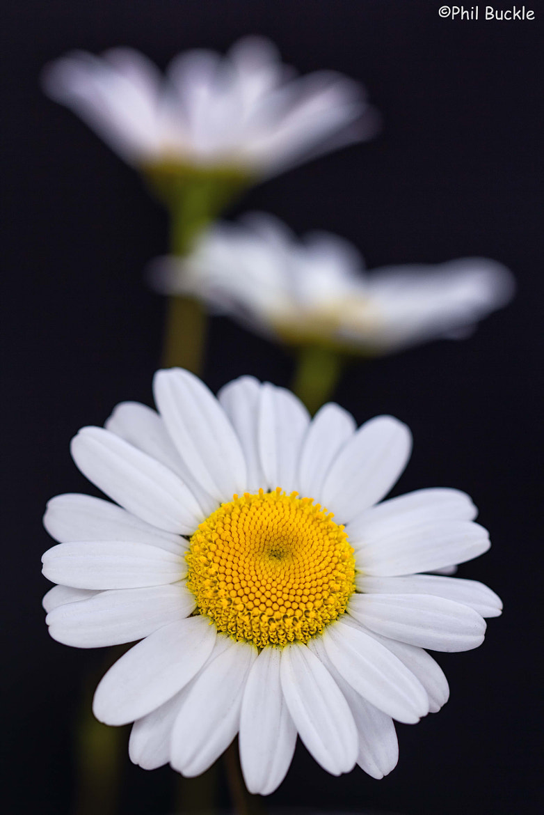 Photograph Roadside Daisy by Phil Buckle on 500px