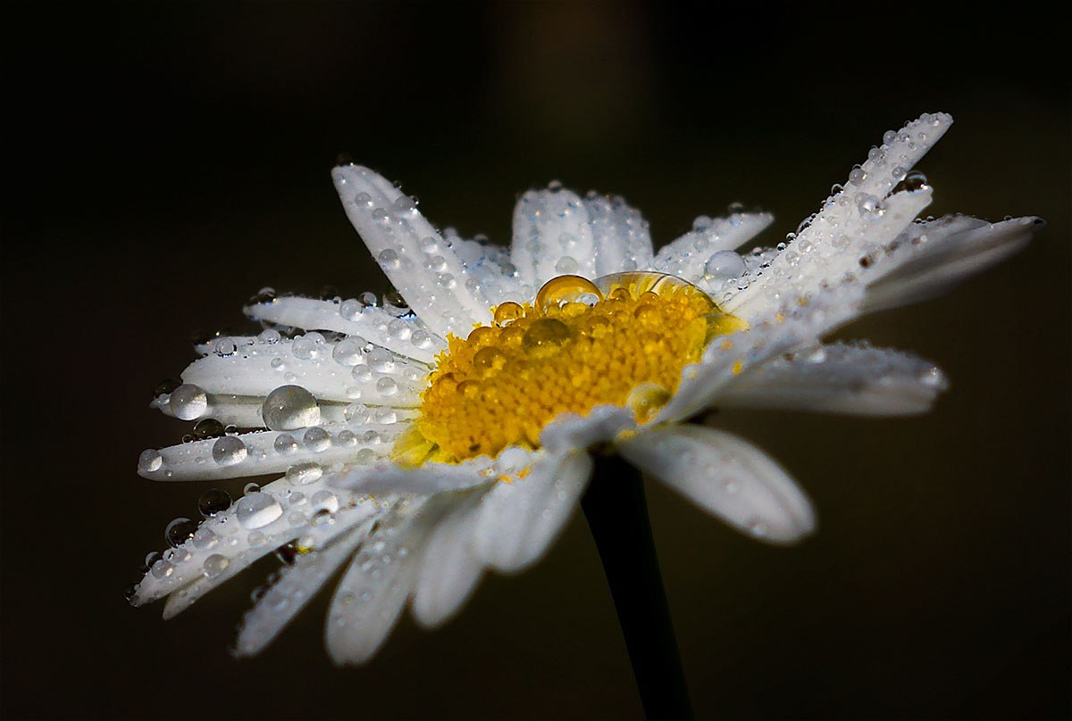 Photograph Camomile by Inna Tkachenko on 500px