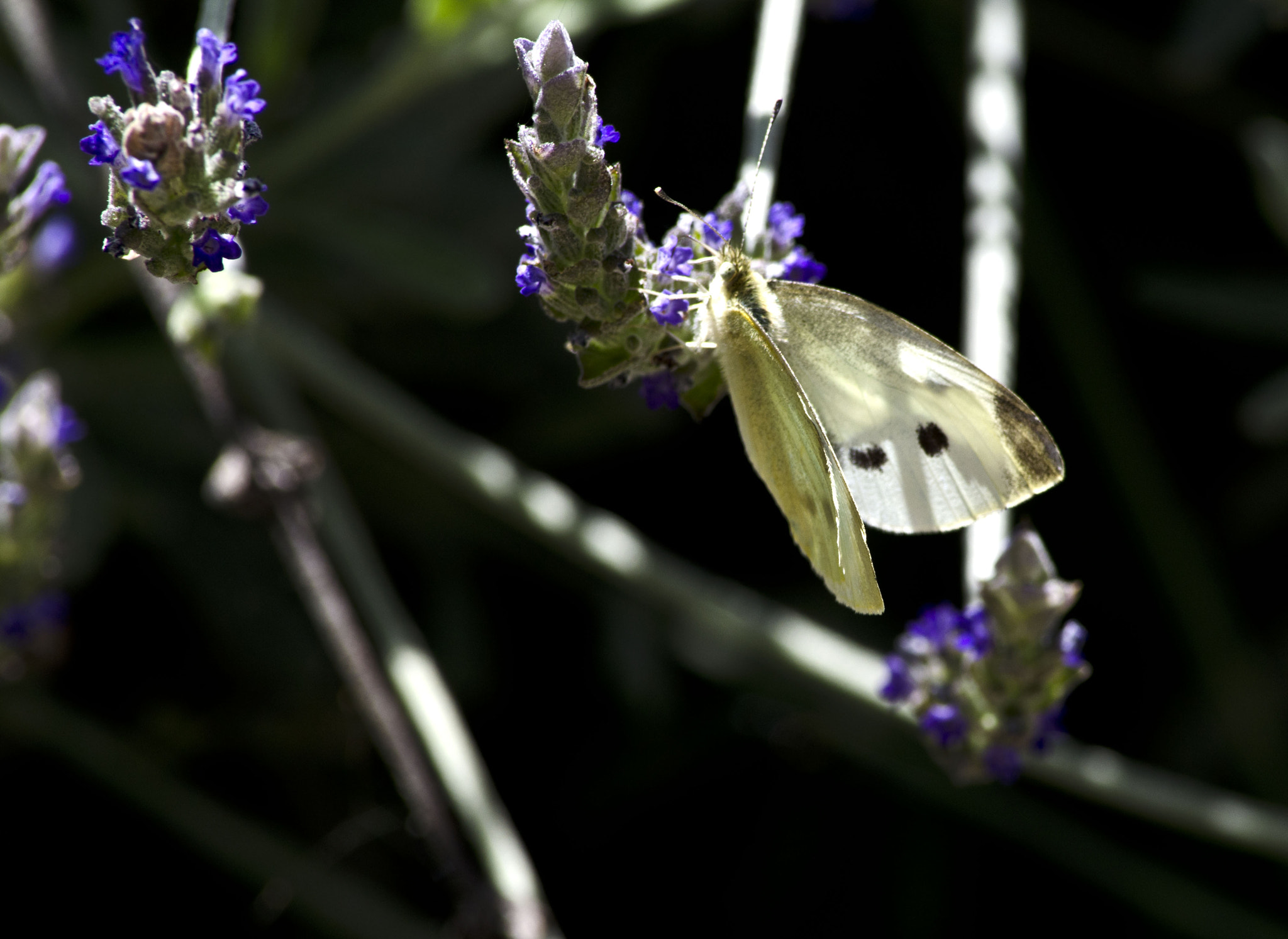Photograph Butterfly by Michael Sheltzer on 500px