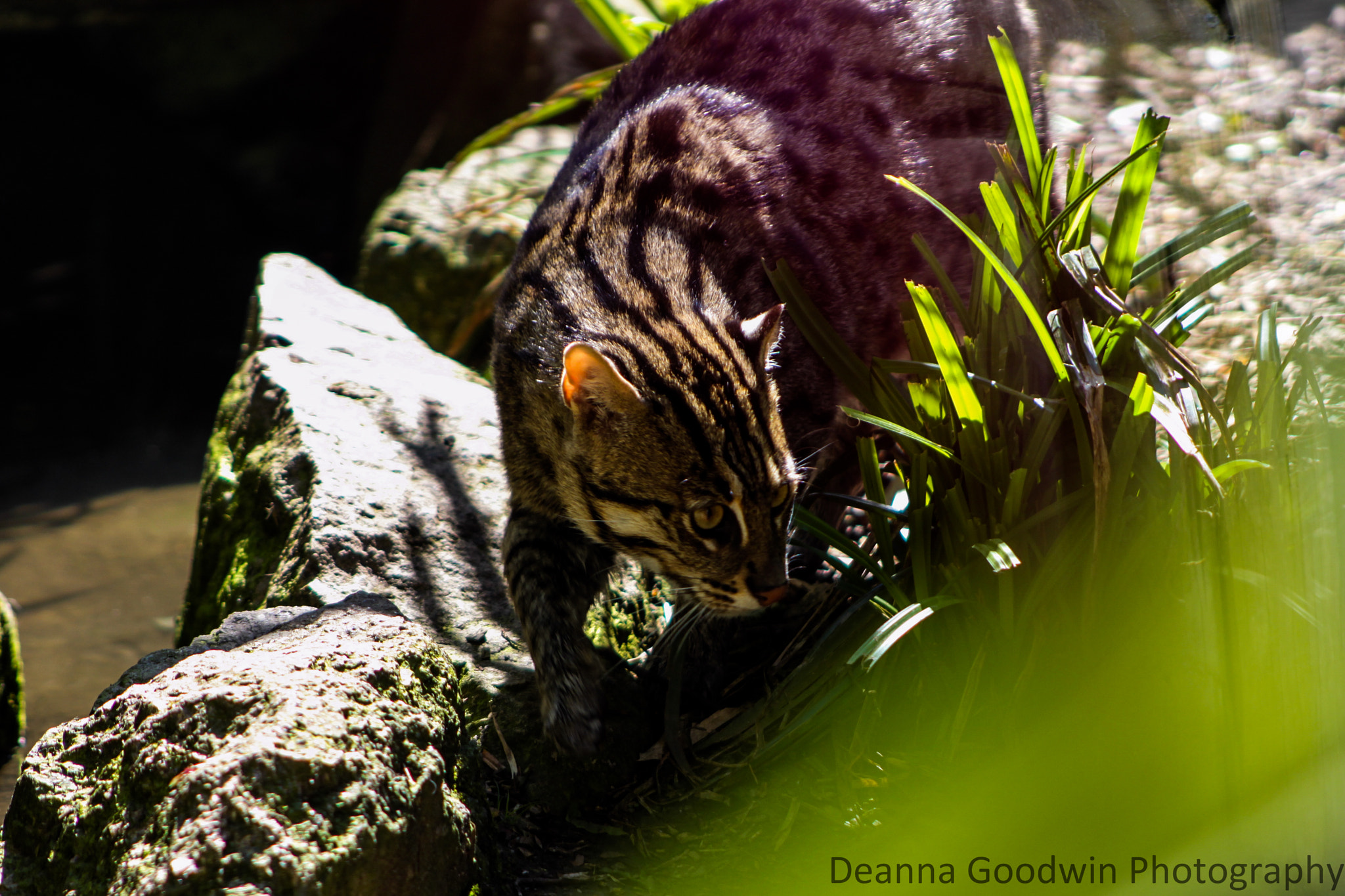Photograph Fishing Cat by Deanna Goodwin on 500px