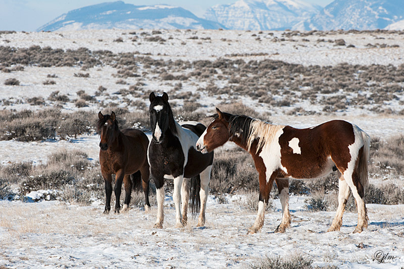 These are some of the wild horses we photgraphed just outside of Cody, Wyoming.   It was a cold cold day when Fab and I walked in search of the wild horses.  They are very timid but once they got used to you and had no fear they would come quite close.  My heart soared to see these magnificent creatures running freely.   A day I will never forget.