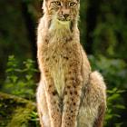 Lynx in the sun