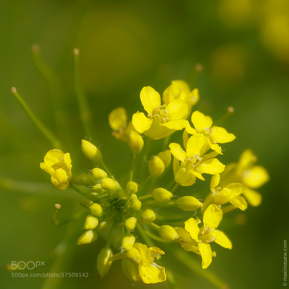 Photograph Yellow Flowers by Max Zu on 500px